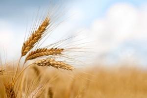 Znaczny spadek ceny pszenicy