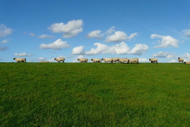 UE: Spadek cen jagniąt i owiec ciężkich