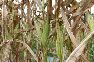 Szkodniki i patogeny będą kosztować rolnictwo miliardy
