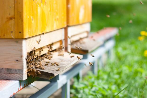 Pszczoły są tak cenne, że kradzione są całe ule! Hodowcy mają jednak nowy sposób na złodziei