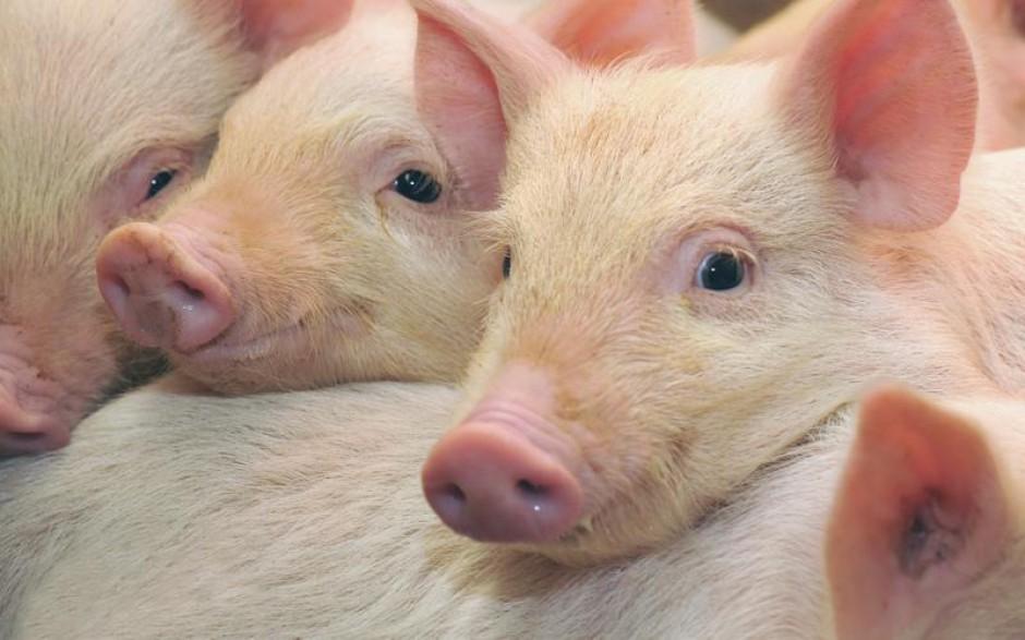 Dwa najważniejsze kroki w kierunku zmniejszenia ilości bakterii odpornych na antybiotyki w produkcji trzody chlewnej
