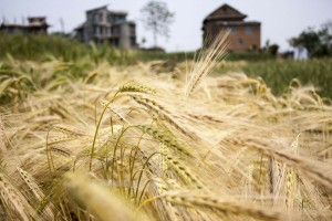 Izba Zbożowo-Paszowa: Na polskim rynku brakuje zbóż