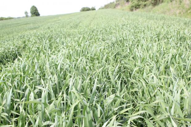22 maja - Druga dekada maja wreszcie przyniosła nam ciepłą pogodę, rośliny bardzo dynamicznie się rozwijają