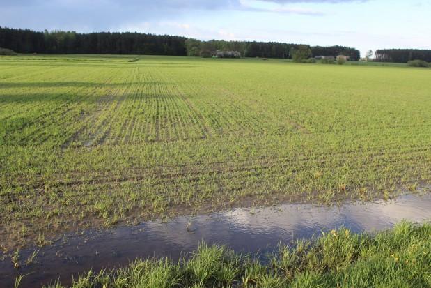 Kilka dni po zasiewach zaczęło intensywnie padać i w niektórych miejscach pola pojawiły się zastoiska wody