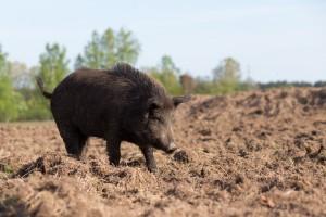 Lubelskie: Padłe dziki stanowią zagrożenie rozprzestrzeniania się ASF