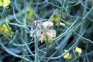 Szara pleśń na kwiatostanach rzepaku