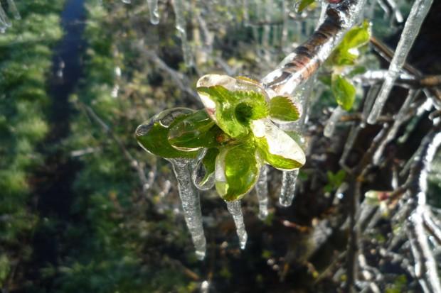 Czechy: Straty mrozowe w sadach i ogrodach