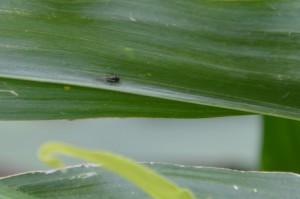 Mszyce zakładają kolonie w kukurydzy