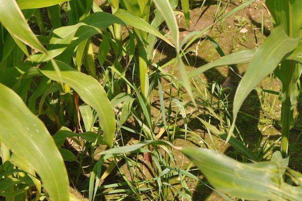 Na polu tylko kukurydza