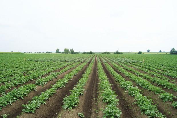 Ziemniak – pogłówne nawożenie azotem