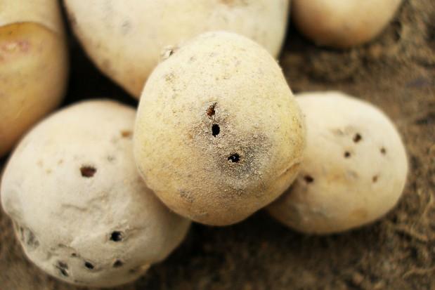 Zagrożenie ziemniaka szkodnikami