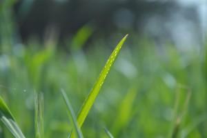 Co spowodowało białe plamki na liściach zbóż?