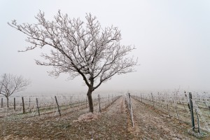 Podkarpackie: Zimowe i wiosenne ataki mrozu spowodowały szkody w winnicach