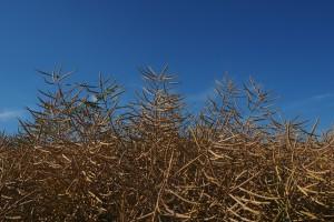 Coceral: Prognoza produkcji zbóż w Polsce