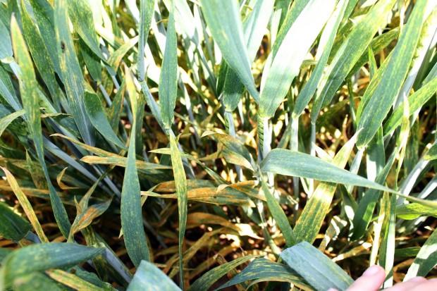 Wysoka presja chorób liści w pszenicy
