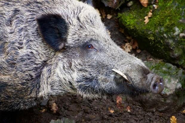 Podlasie: Kolejne przypadki afrykańskiego pomoru świń