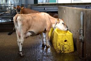 Letnie kwasice u krów mlecznych