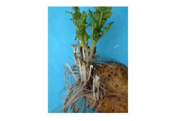 Jakie choroby mogą zaatakować teraz uprawę ziemniaków?
