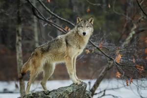 Kary w zawieszeniu za zastrzelenie chronionej wilczycy i jej oskórowanie