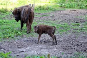 Bieszczady: Cielne żubrzyce znikają z śródleśnych łąk