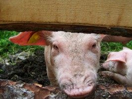 Świnia będzie mogła mieć tatuaż, a nie tylko kolczyk
