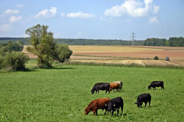 GUS: Wyższe pogłowie zwierząt gospodarskich w województwie mazowieckim