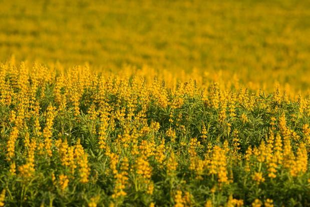 Wykorzystanie łubinu żółtego w produkcji tuczników