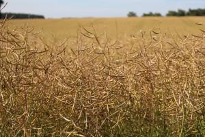 Niemieccy rolnicy oczekują zbiorów zbóż na ubiegłorocznym poziomie