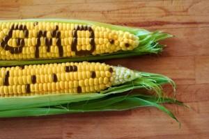 KE zatwierdziła nowe odmiany roślin GMO