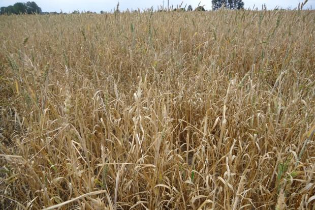 IUNG: W Polsce pojawiła się susza rolnicza