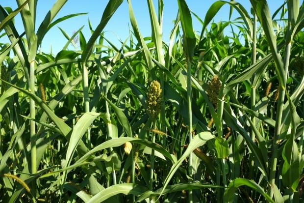 FAO: Lekki spadek światowej produkcji zbóż