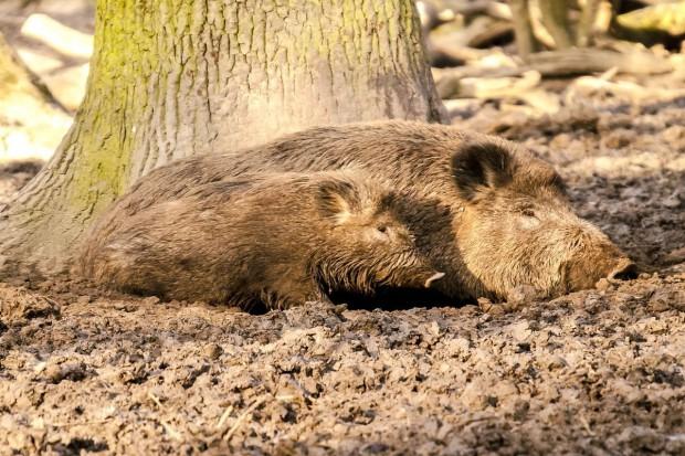 Większy odstrzał dzików i zakaz hodowli świń będą możliwe
