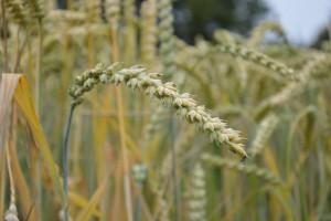 Liczne wciornastki w pszenicy