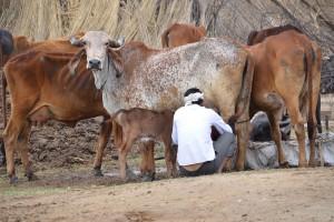 Indie największym producentem mleka do 2026 roku