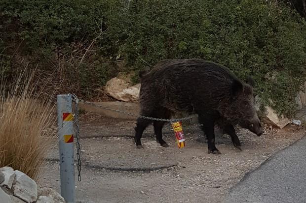 Czechy: 29 dzików padło na afrykański pomór świń