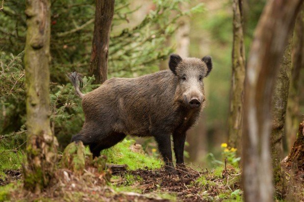 W związku z ASF resort środowiska chce, by na dziki można było polować przez cały rok