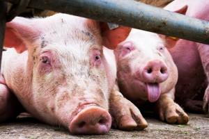 Dlaczego za zwalczanie choroby z urzędu płacą rolnicy?