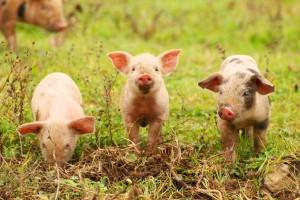 Kiedy należy się odszkodowanie lub rekompensata za zwierzęta?