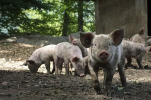Do 28 lipca wsparcie do zaprzestania prowadzenia produkcji trzody chlewnej