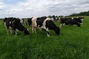 Krowy mają pomóc zwalczać AIDS