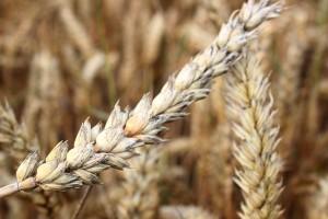Czy przekropna pogoda będzie miała wpływ na słabą jakość ziarna?