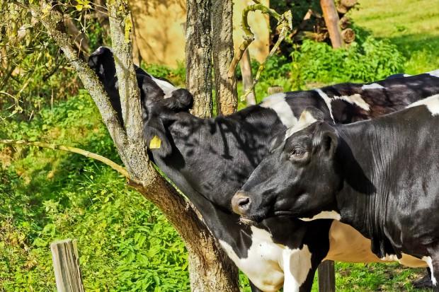 Sytuacja na rynku mleka w Unii Europejskiej