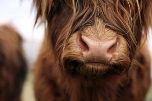 Królewska wołowina z rasy Highland Cattle