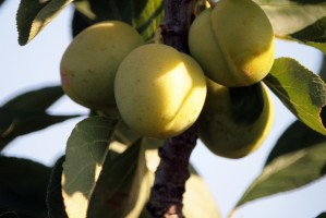 Owoce wolne od pozostałości pestycydów
