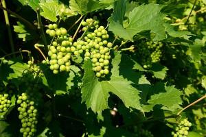 Francja oczekuje mniejszej produkcji wina
