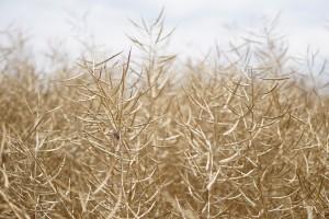 Zbiory zbóż i rzepaku w Niemczech