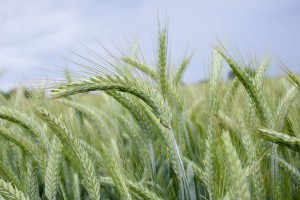 Najnowsze odmiany pszenżyta ozimego