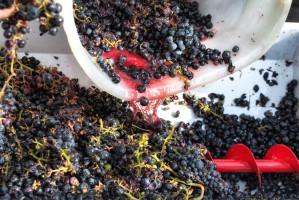 Włochy: Upały powodem zamknięcia Uffizi i wczesnego winobrania