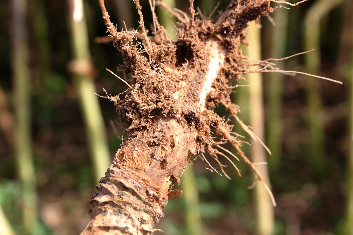 Korzeń uszkodzony przez śmietkę kapuścianą