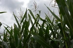 Zachodnia kukurydziana stonka korzeniowa – konieczne zwalczanie
